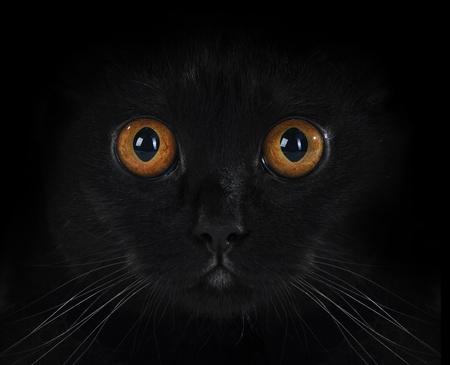 portrait of a black British cat with orange eyes on black background Stock Photo - 8723927