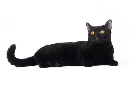 British black cat isolated on white background Stock Photo - 8864840