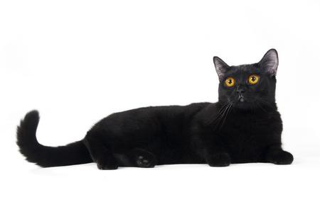 brit: British black cat isolated on white background Stock Photo