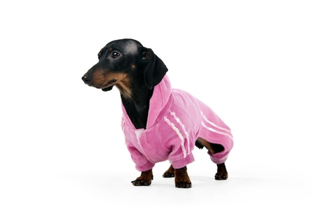Black and brown  dachshund in a pink suit isolated on a white background Stock Photo - 8864844
