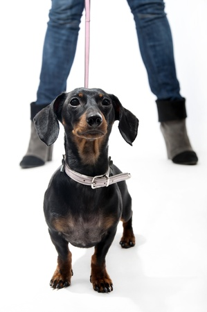 Black and brown dachshund on a leash photo