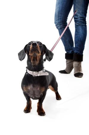 Black and brown dachshund on a leash Standard-Bild