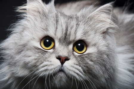 Persian cat Stock Photo - 9020804
