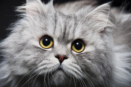 Persian cat Stock Photo - 9020804