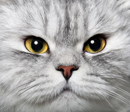 Persische Katze Standard-Bild - 9020805