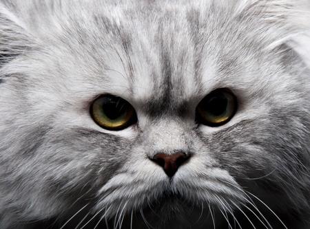 Persian cat Stock Photo - 9020803