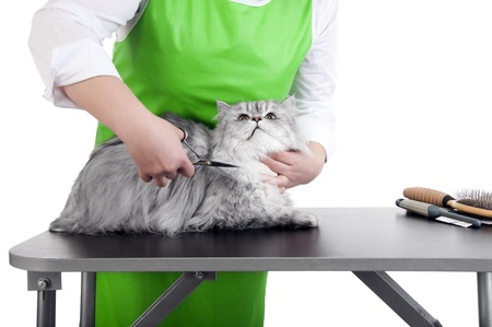 Master of grooming haircut makes gray Persian cat on the table for grooming on a white background Stock Photo - 9020807