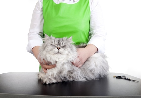 Master of grooming haircut makes gray Persian cat on the table for grooming on a white background 免版税图像