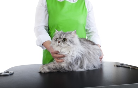 Master of grooming haircut makes gray Persian cat on the table for grooming on a white background Stock fotó