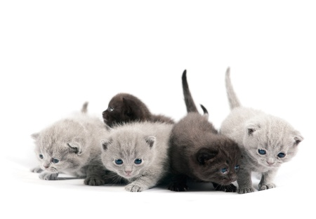 Five british kittens on white background  免版税图像