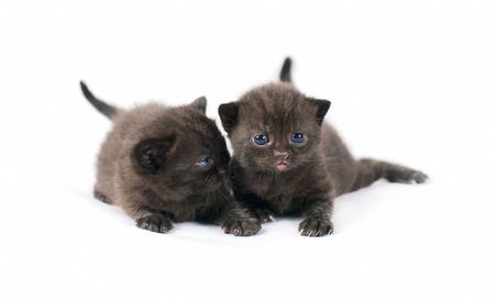 Two black british kittens on white background Stock Photo - 10001780