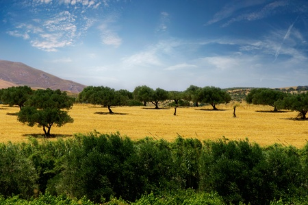 mount of olives: Olive trees on a yellow field on a background of mountains and blue sky, the island of Crete, Greece Stock Photo