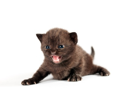 Brown small british kitten meows on white background 免版税图像