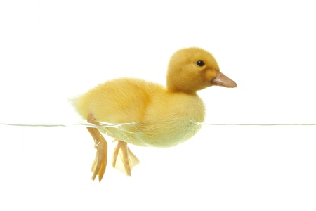Cute duckling swimming in clear water, front view photo