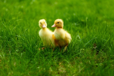 Cute little ducklings walking through the grass photo