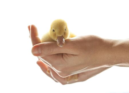 yellow duckling: little yellow duckling with care and gentleness in human hands Stock Photo