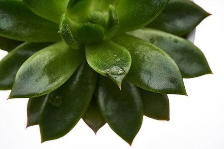 Green juicy succulents on white background 免版税图像