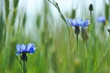 Blue flowers of grain photo