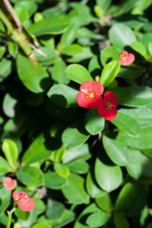 Christ thorn  Euphorbia milii  flower close-up with green leaves in garden photo
