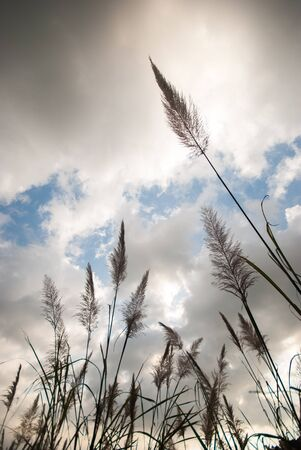Pampas grassr with blue sky  in summer photo