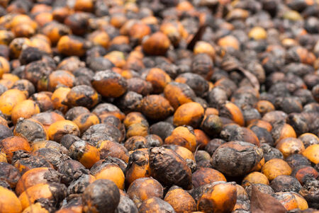 Betel Nut or Areca Nut background , Close up photo