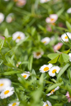 german chamomile: Field of white chamomile flowers on green Background