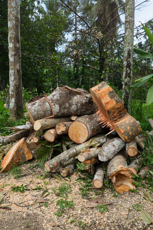 being: Dead trees.Trees being cut in the forest