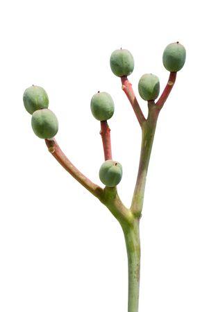 Buddha belly plant(Jatropha podragrica) close up