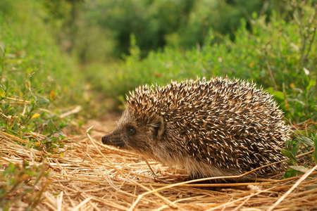 hedgehog: Small hedgehog
