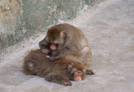 macaque: Macaque japonais