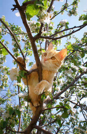 Young ginger cat on blossoming apple tree Stock Photo - 10086877