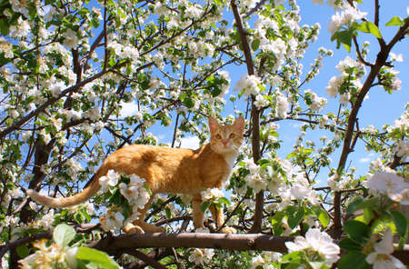 Young ginger cat on blossoming apple tree Stock Photo - 10086879