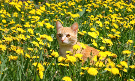flowers cat: young ginger cat in dandelions Stock Photo