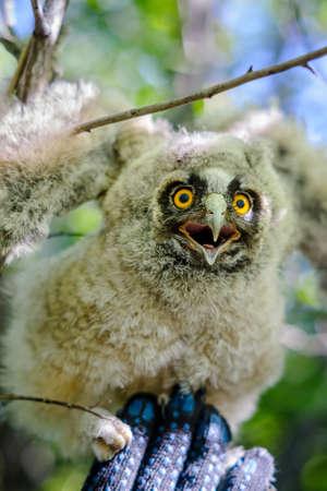 eared: little long eared owl  on a hand