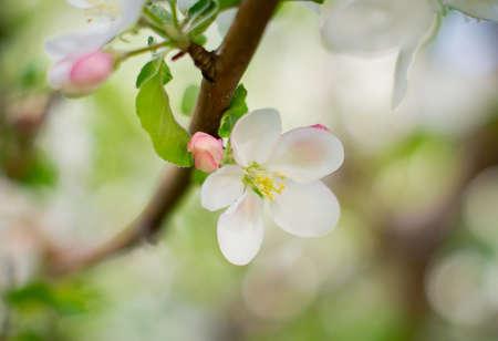 manzana verde: Manzano floreciente, hermosas flores blancas Foto de archivo