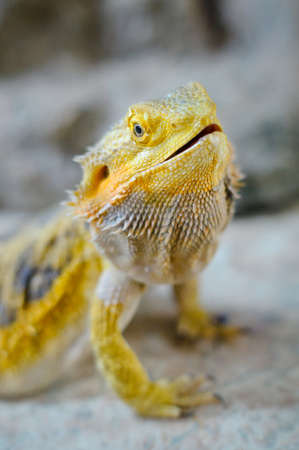 terrarium: Bearded dragon portrait, terrarium in Russia