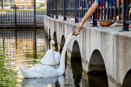 Children feeding white swans, pond in the park, Ufa, Russia