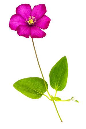 clematis: Pink Clematis Flower Isolated on White Background Studio Photo Stock Photo