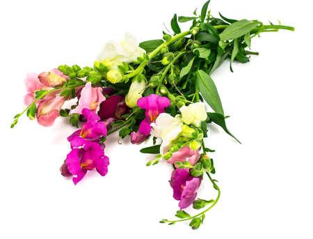 plantaginaceae: Meadow Wildflower Antirrhinum on White Background