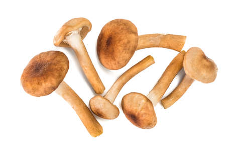 autumn colouring: Wild Mushrooms Armillaria, Honey Agaric on White Background