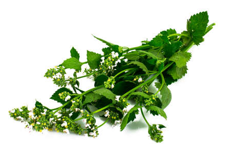 Mint Flowers on White Background Natural Photo