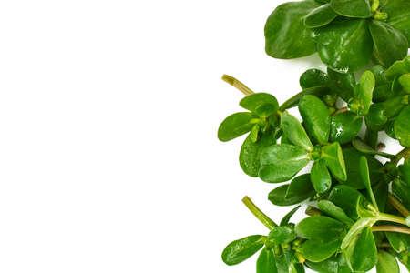 Fresh Green Purslane on White Studio Photo Stockfoto