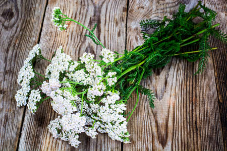 milfoil: Milfoil Flower on Rustik Wooden Background Studio Photo