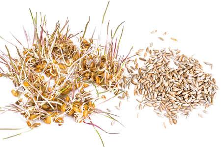 germinación: Germinado de trigo, centeno y cebada Estudio Fotográfico Foto de archivo