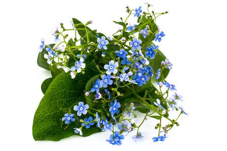 Brunner macrophylla for garden design Stock Photo
