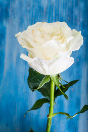 stale: One stale white rose Stock Photo
