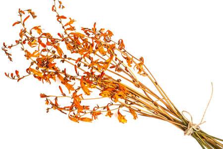 Dried flowers Crocosmia