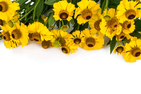 Helenium yellow flowers on white background