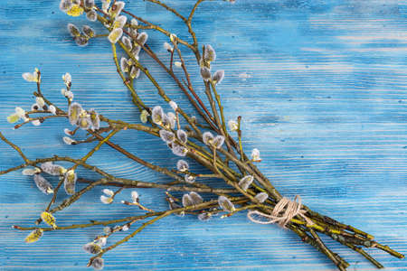 grey cat: Blossoming inflorescences of willow in spring on blue background Stock Photo