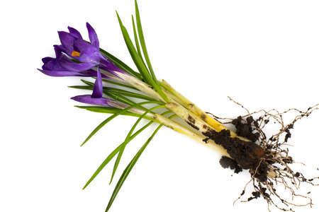 Crocuses first spring garden flowers. Studio Photo Stock Photo